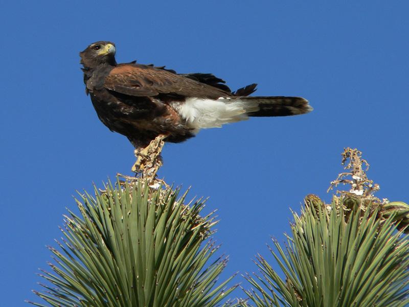 Desert Hawk Animal Searchlight Wind Proje...